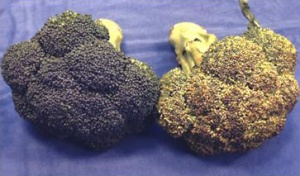 yellowing broccoli